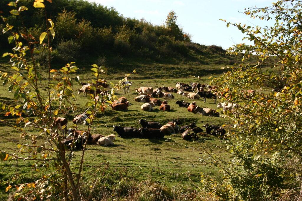 Rinder, Büffeln